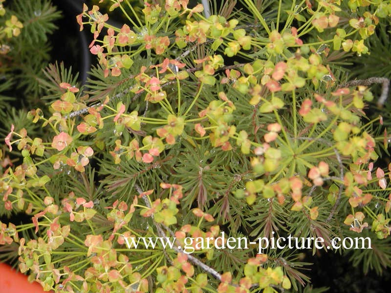 Euphorbia cyparissias 'Clarice Howard'