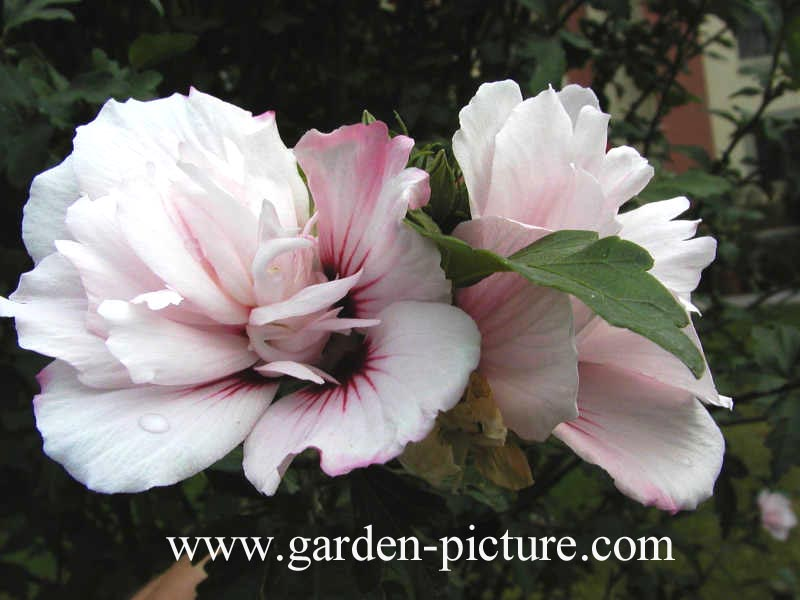 picture and description of hibiscus syriacus 39 lady stanley 39. Black Bedroom Furniture Sets. Home Design Ideas