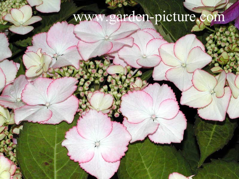 Hydrangea macrophylla 'Love You Kiss'