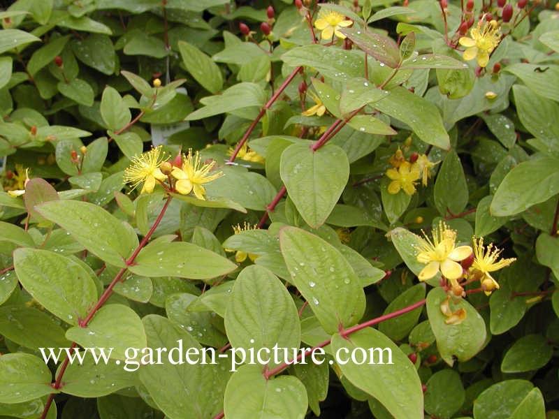 Hypericum inodorum 'Rheingold'