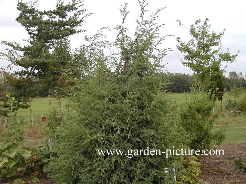 Juniperus bermudiana