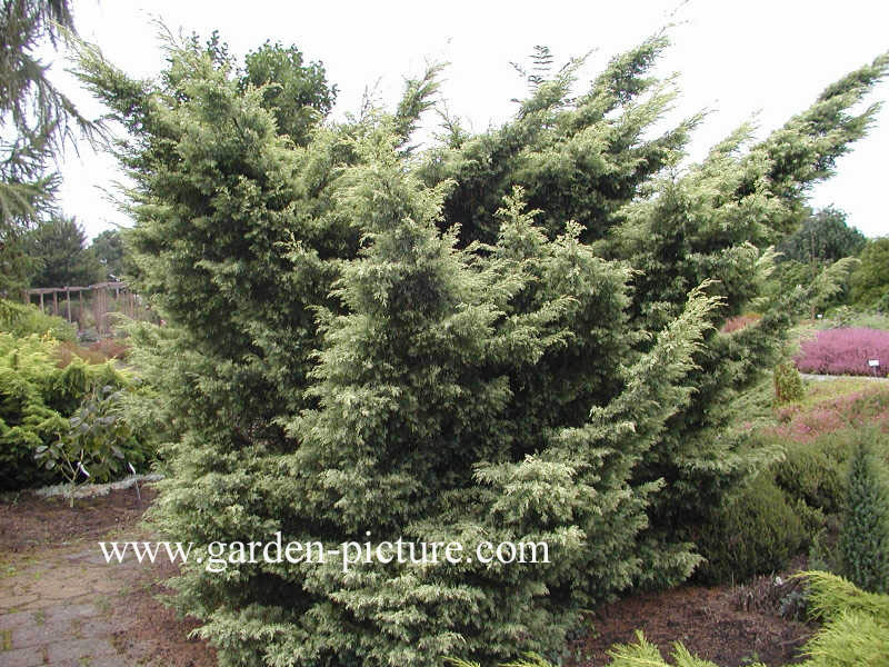 Juniperus virginiana 'Sulphur Spray'