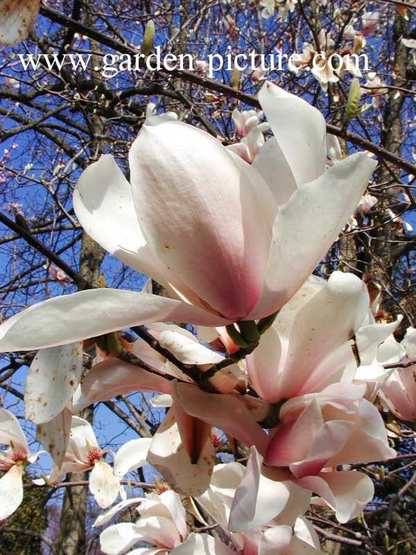 Magnolia veitchii
