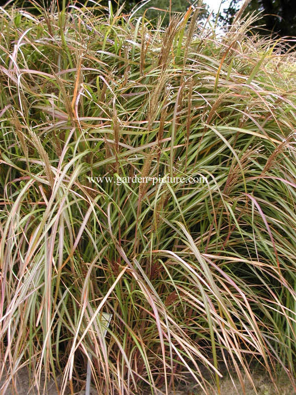 Miscanthus sinensis 'Rotsilber'