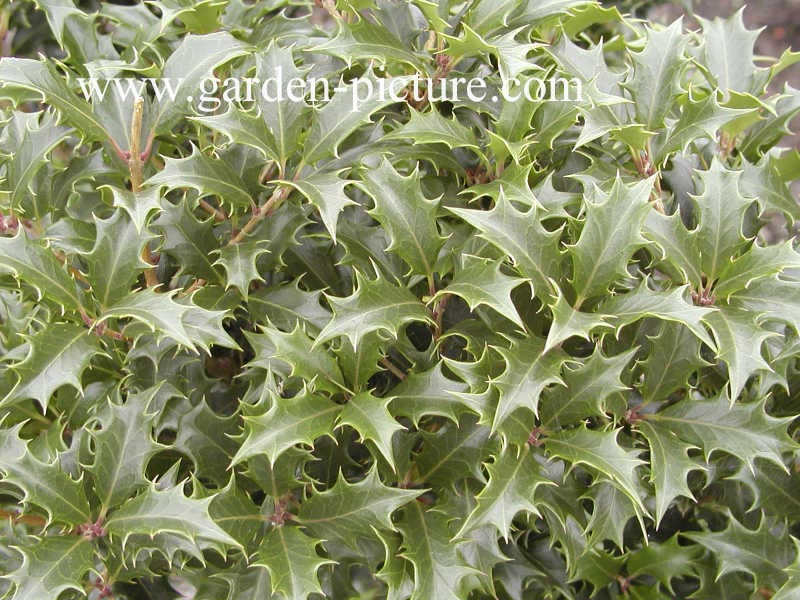 Osmanthus heterophyllus 'Gulftide'