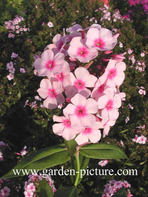 Phlox 'Bright Eyes' (paniculata group)