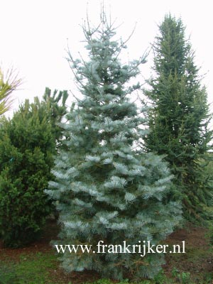Abies concolor 'Argentea'