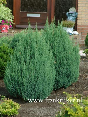 Juniperus chinensis 'Stricta' (69269)