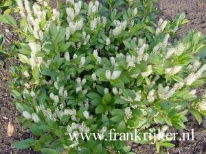 Picture And Description Of Prunus Laurocerasus Mano