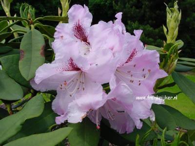 rhododendron 39 ammerland 39. Black Bedroom Furniture Sets. Home Design Ideas