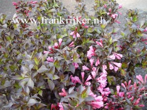 picture and description of weigela florida 39 nana purpurea 39. Black Bedroom Furniture Sets. Home Design Ideas