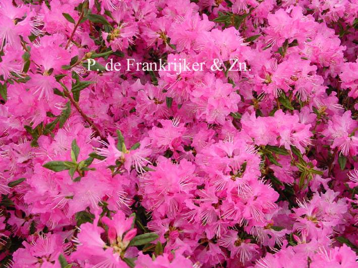 Sind Hier Home &gt Abbildungen Und Beschreibung Von Rhododendron Ostara