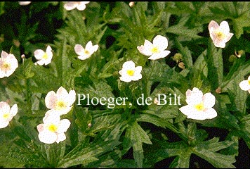 Anemone canadensis (71148)