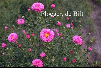 Aster novi-belgii 'Patricia Ballard'