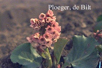 Bergenia cordifolia