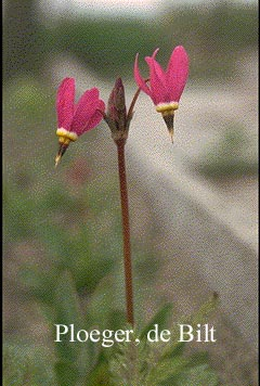 Dodecatheon pulchellum 'Red Wing'