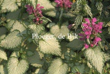 Lamium maculatum 'Beacon Silver'
