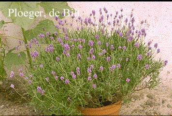 plantenwinkel lavandula angustifolia 39 dwarf blue 39 www. Black Bedroom Furniture Sets. Home Design Ideas