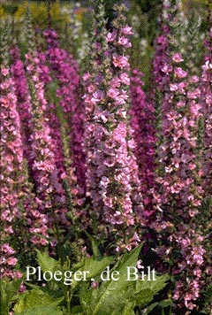 Lythrum salicaria 'Blush' (72199)