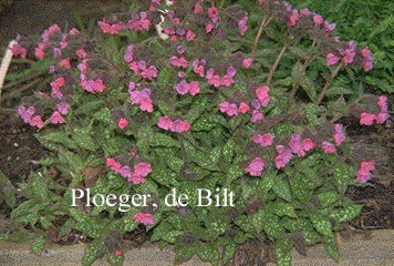 Pulmonaria saccharata 'Mrs. Moon' (72568)