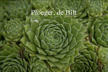 Sempervivum 'Smaragd' (72770)