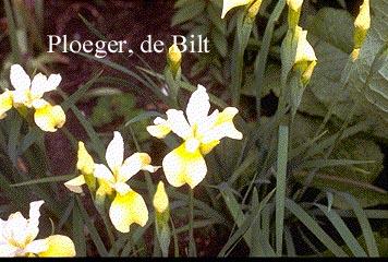 Iris sibirica 'Butter and Sugar'