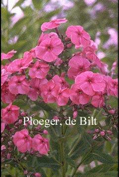 Phlox paniculata 'Kirchenfuerst'
