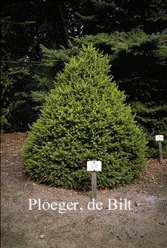 Picture And Description Of Picea Abies Remontii