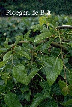 Morus alba 'Pendula'
