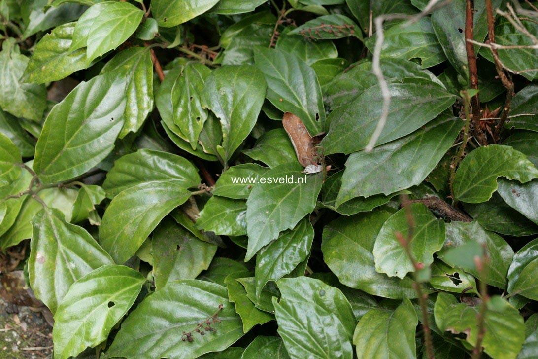 Pachysandra axillaris