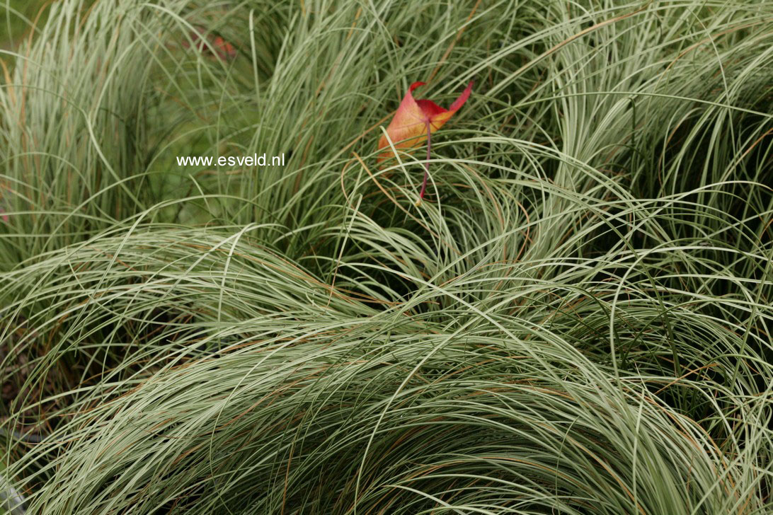 Carex comans 'Frosted Curls' (76906)
