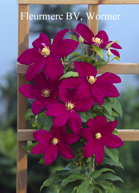 Picture and description of Clematis 'Sunset'