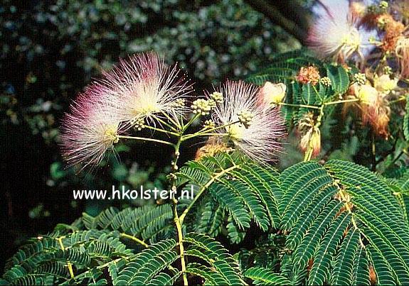 Afbeeldingen en beschrijving van Albizia julibrissin Rosea   www esveld nl
