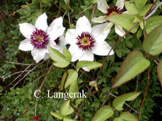 Clematis florida 39 sieboldii 39 for Clematis florida