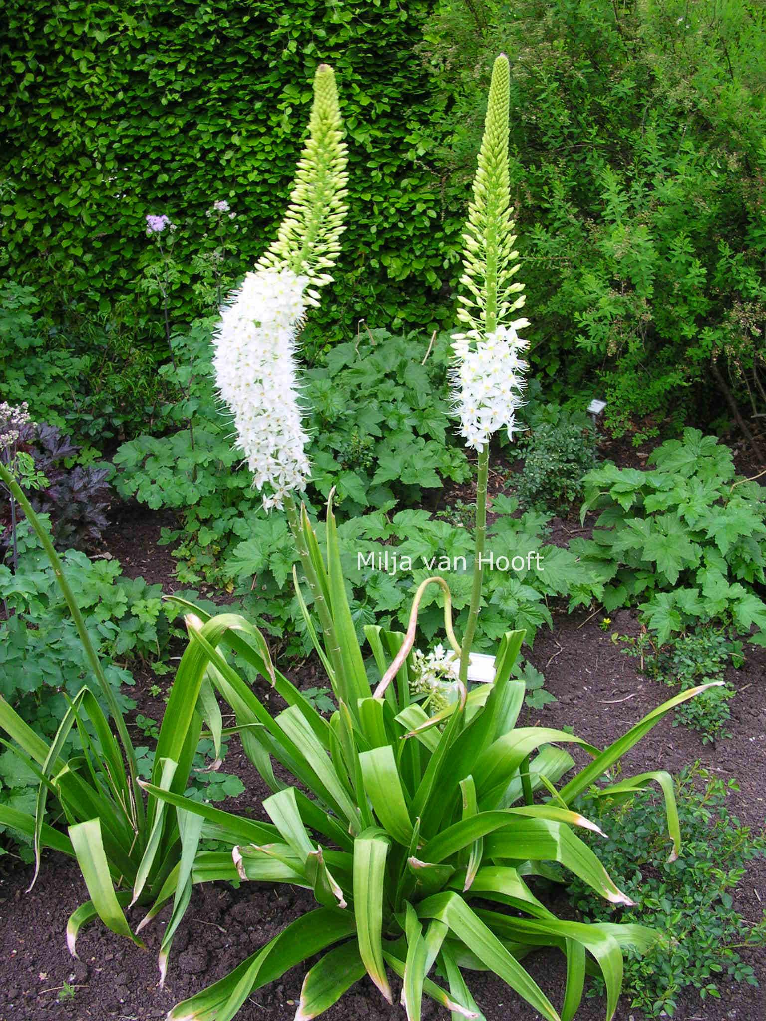 Садовые цветы на стрелках фото