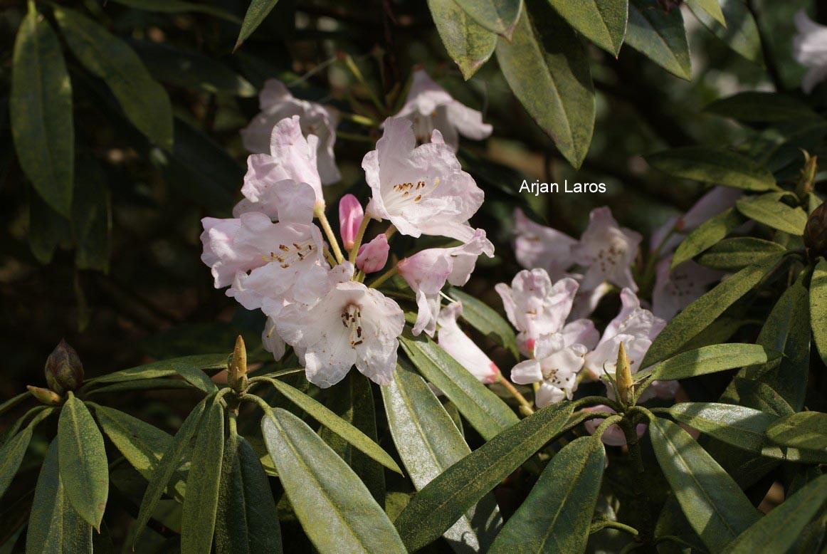abbildung und beschreibung von rhododendron balfourianum. Black Bedroom Furniture Sets. Home Design Ideas