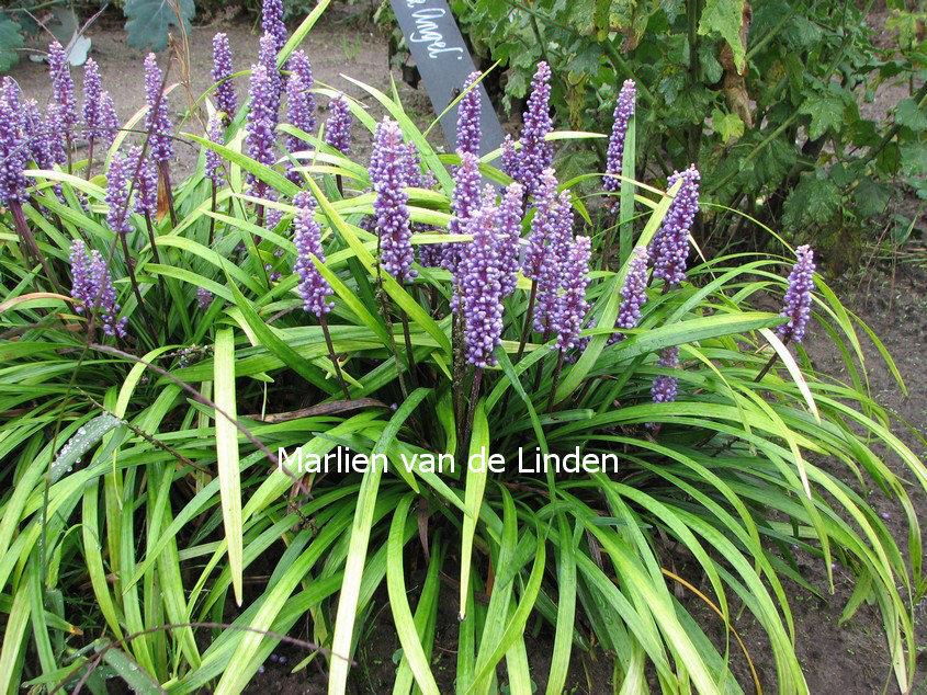 Liriope muscari 'Moneymaker' (81471)