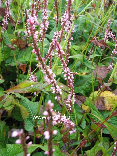 Persicaria amplexicaulis rosea
