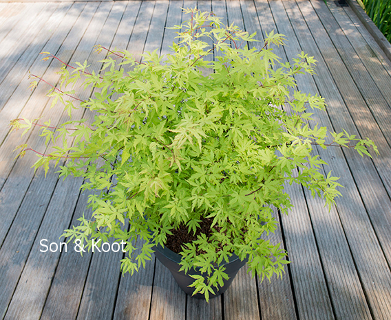 Picture And Description Of Acer Palmatum Anne Irene