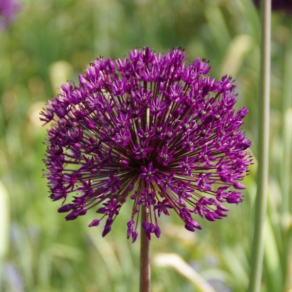 picture and description of allium 39 purple sensation 39. Black Bedroom Furniture Sets. Home Design Ideas