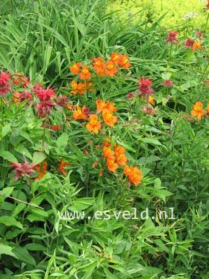 Alstroemeria aurantiaca 'Orange King'