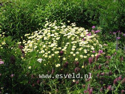 Anthemis hybrida 'Sauce Hollandaise'