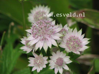 Astrantia major 'Buckland'