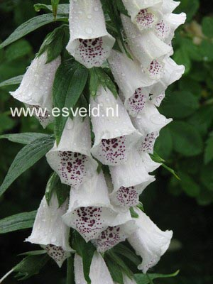 Digitalis purpurea 'Alba'