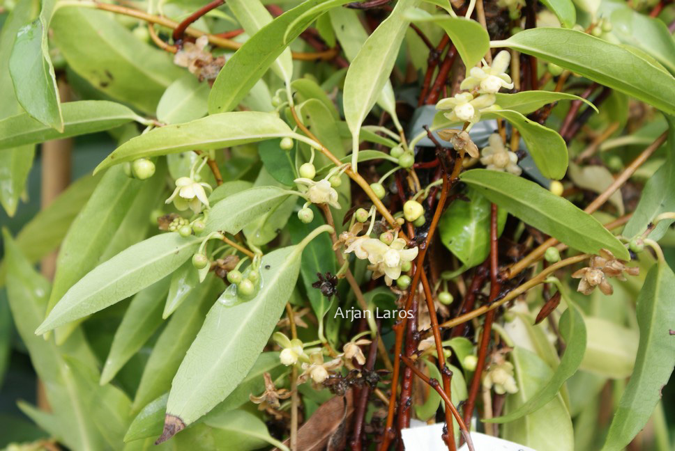 Schisandra propinqua var. sinensis