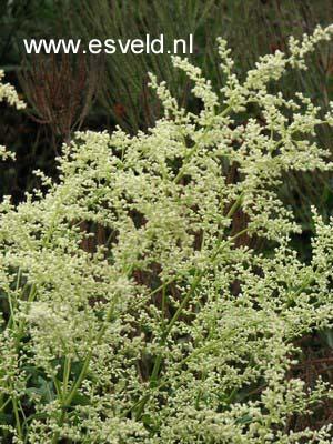 Picture And Description Of Artemisia Lactiflora Elfenbein