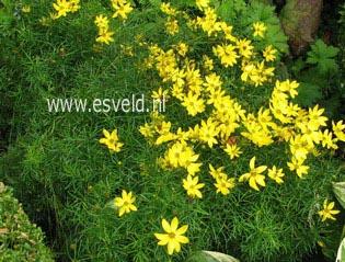 Coreopsis verticillata 'Zagreb'
