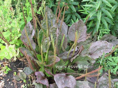 Plantago major 'Purpurea'