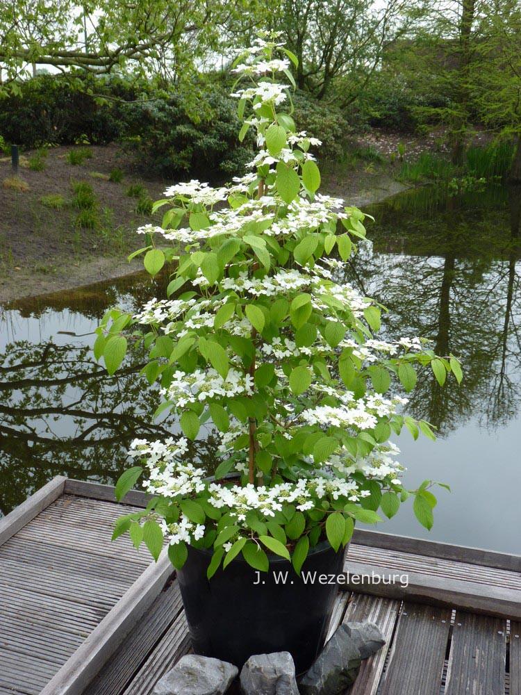 Pictures And Description Of Viburnum Plicatum Jww5