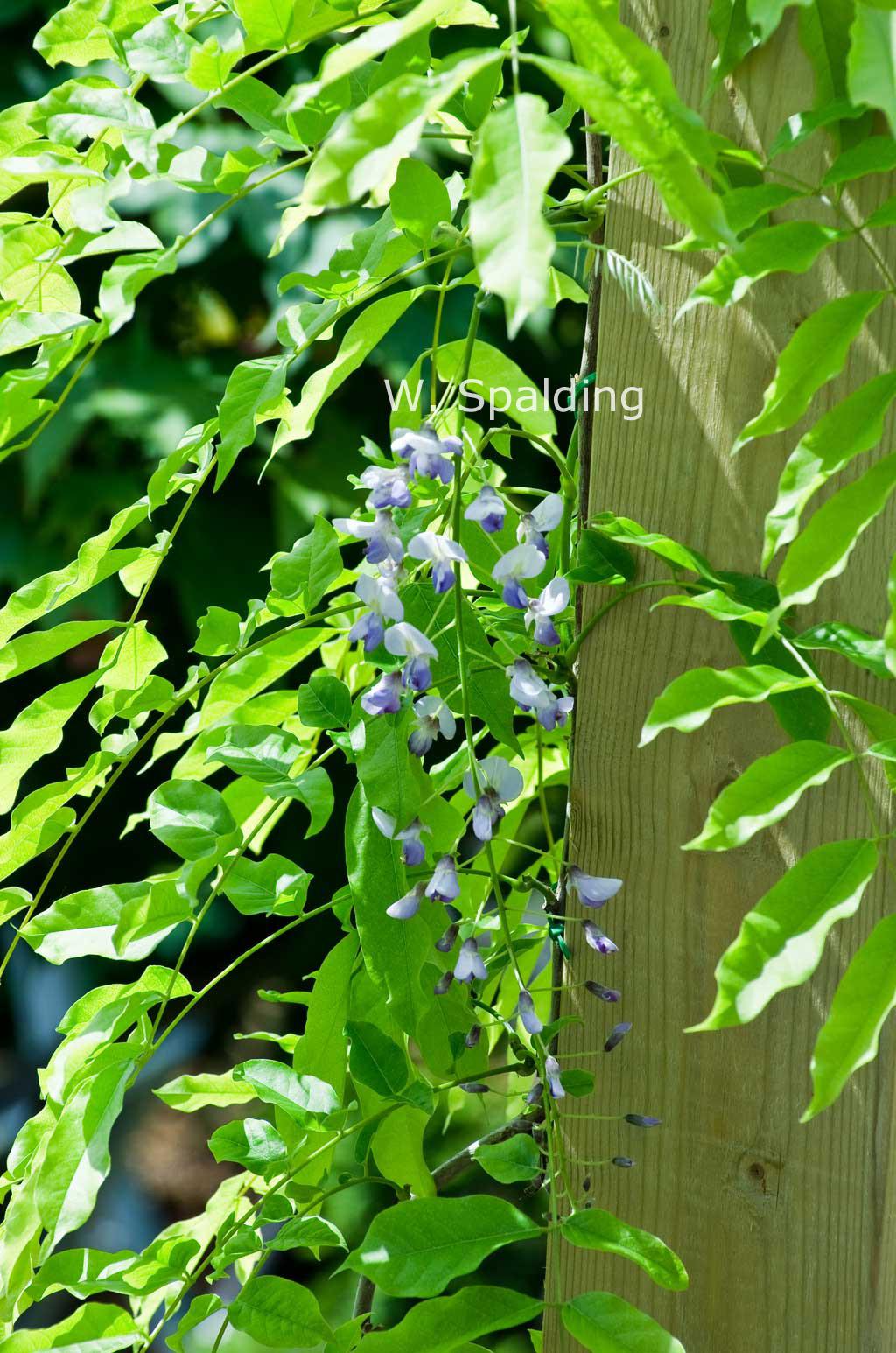 blauwe regen blad